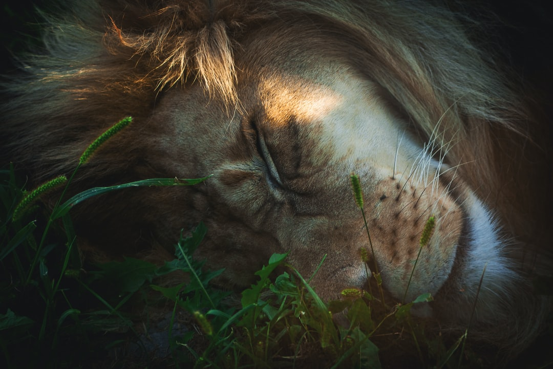 Brown Lion Lying On Green Grass During Daytime - unsplash