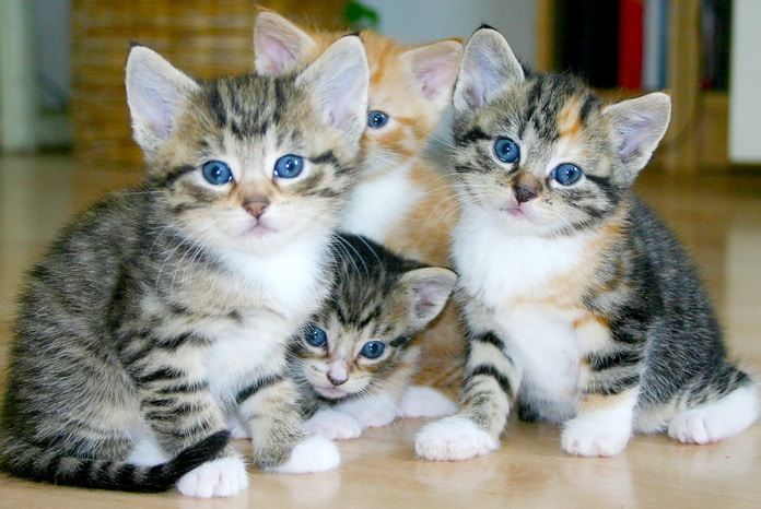 white and brown tabby kittens
