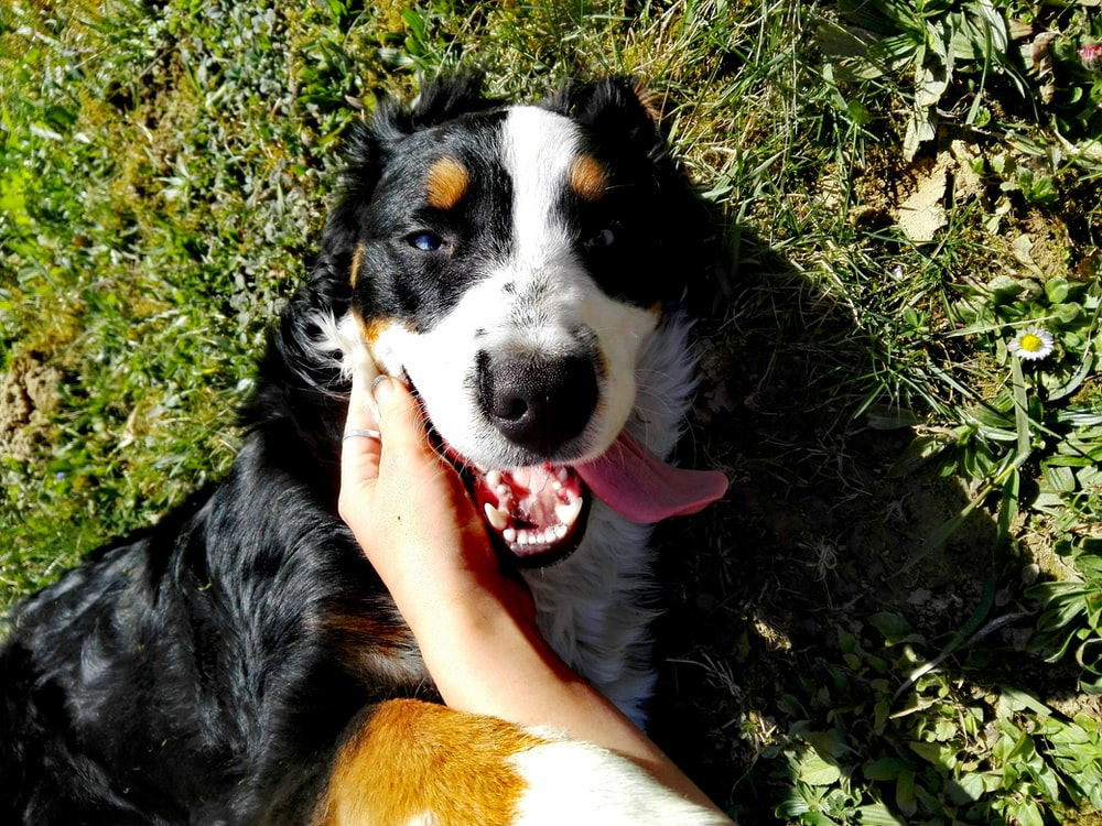 black white and brown long coated dog