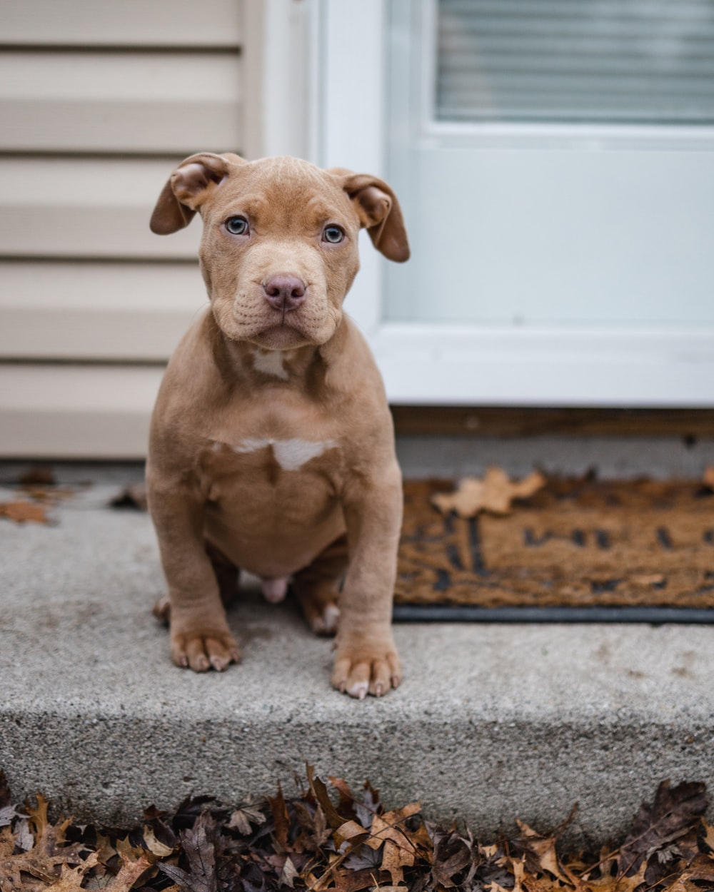 brown and white american pitbull terrier puppy sitting on gray carpet