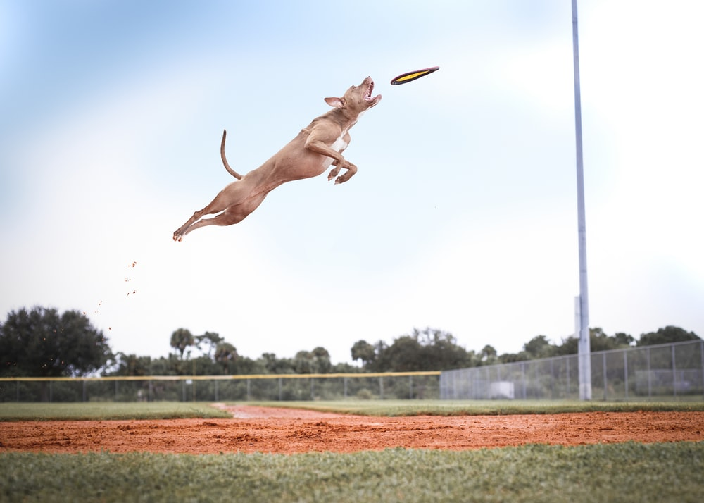 brown short coat large dog jumping on green grass field during daytime