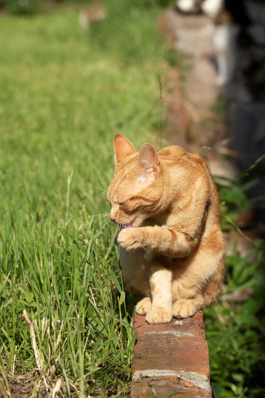 orange tabby cat on green grass field during daytime