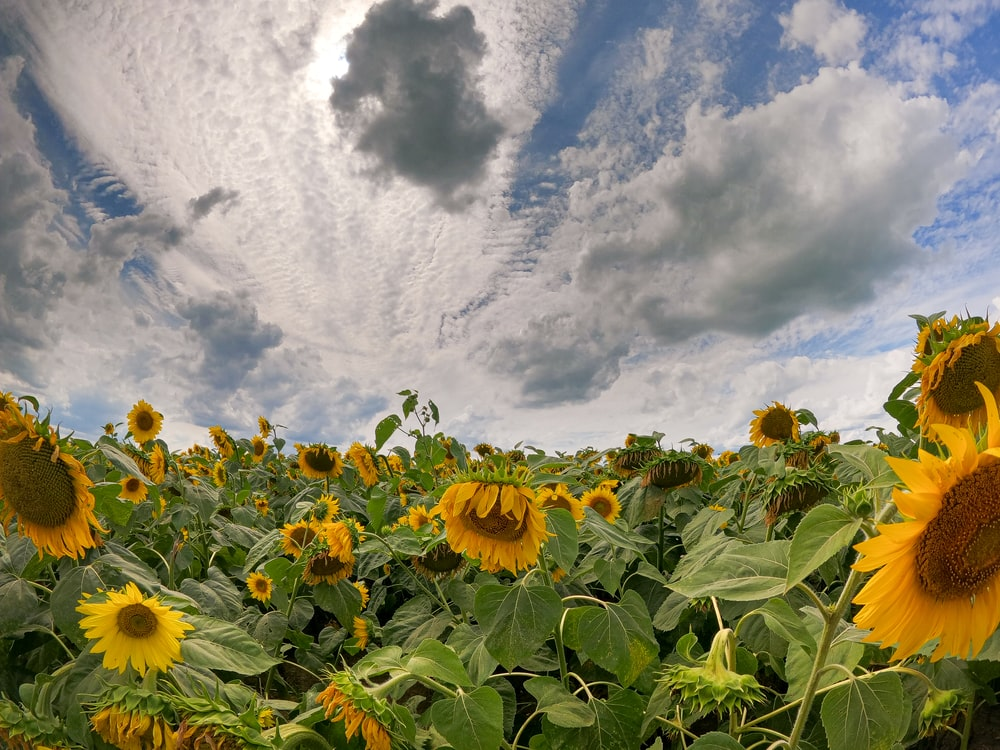 sunflower field under blue sky and white clouds during daytime