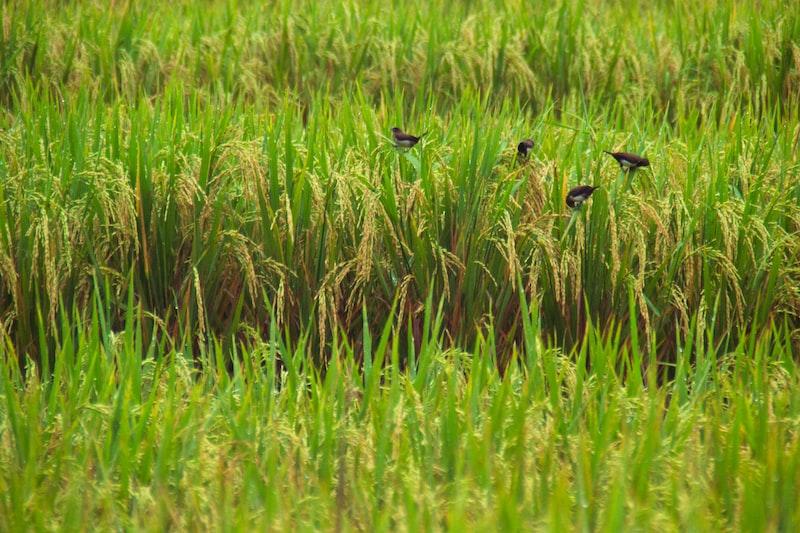 birds in the rice field