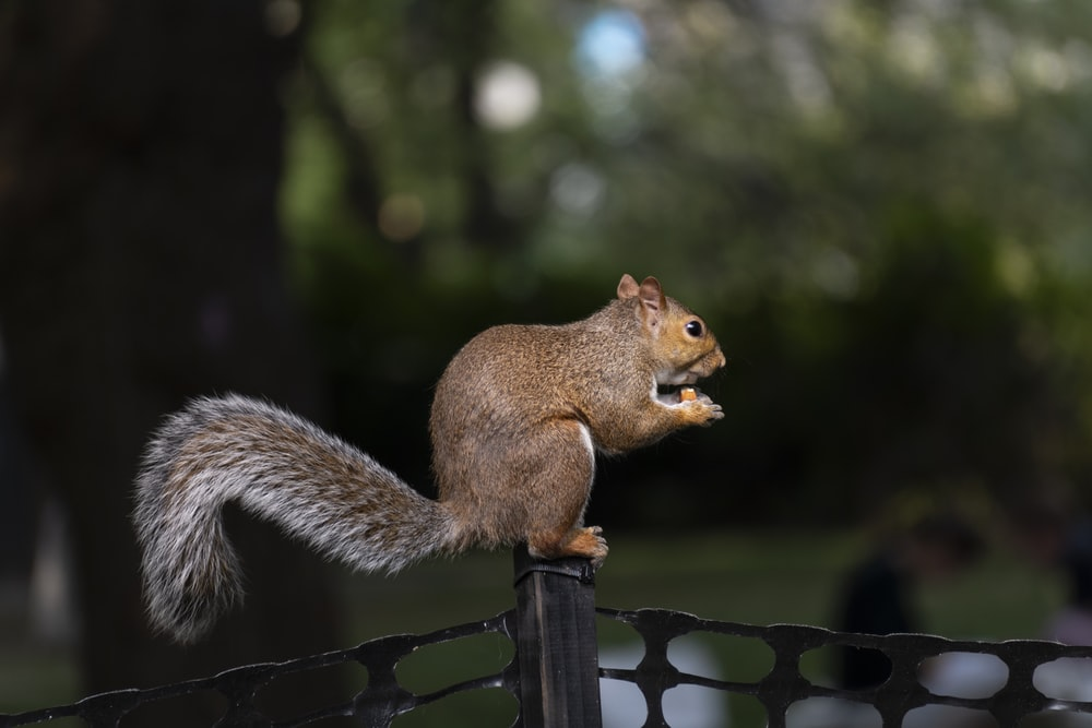 brown squirrel on black wooden fence during daytime