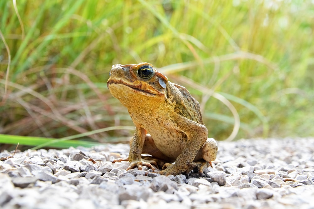 brown frog on green grass during daytime