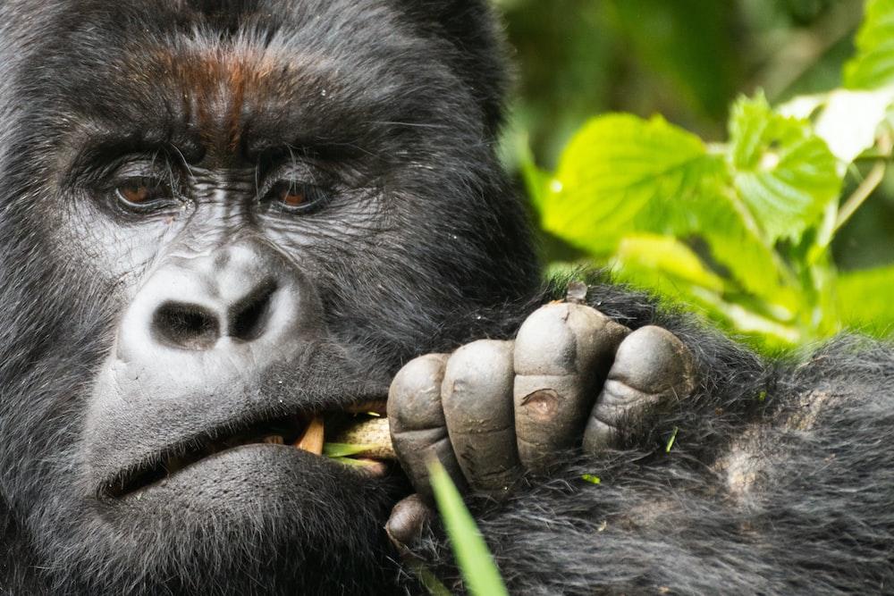 black gorilla holding green leaf