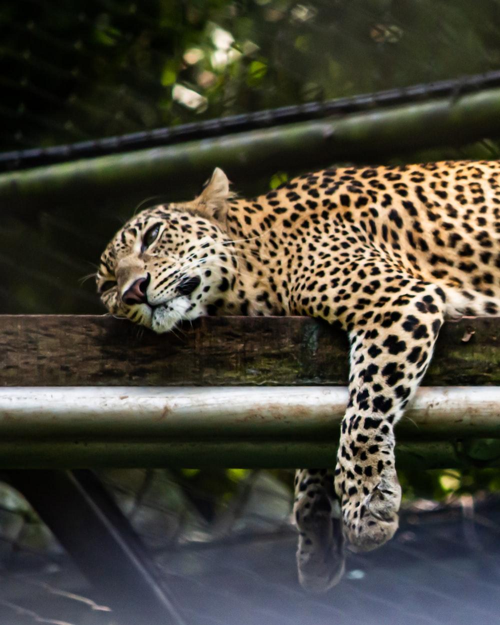 leopard on brown wooden log