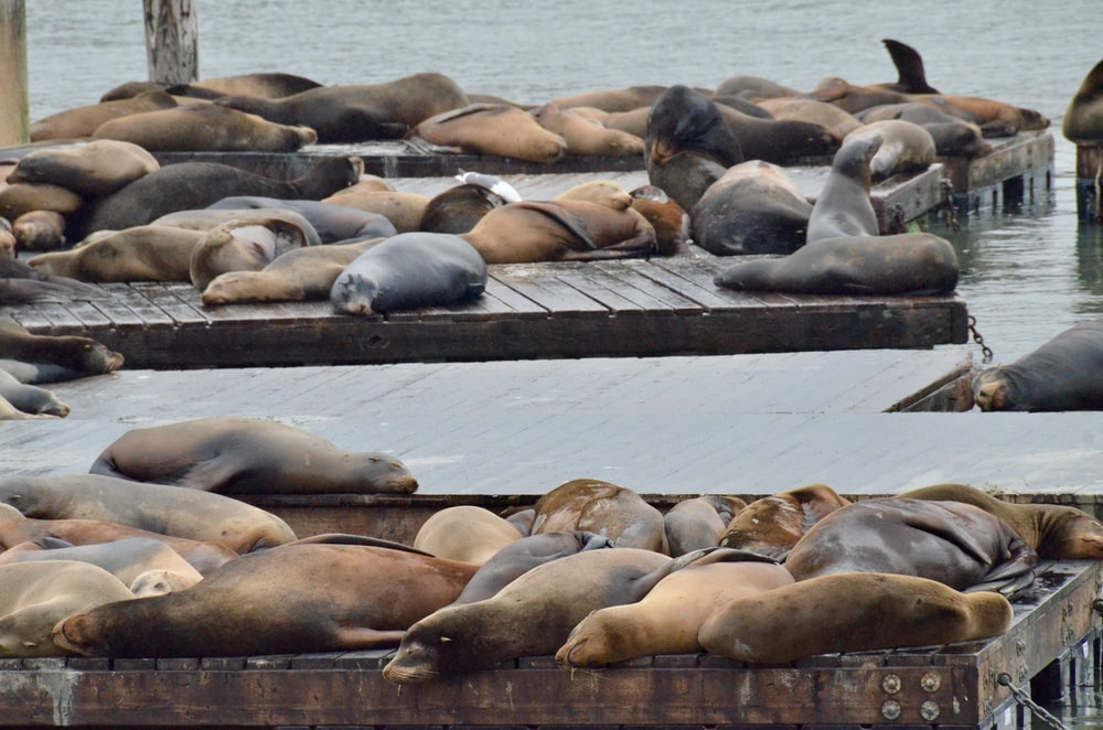 group of sea lion on brown wooden dock during daytime