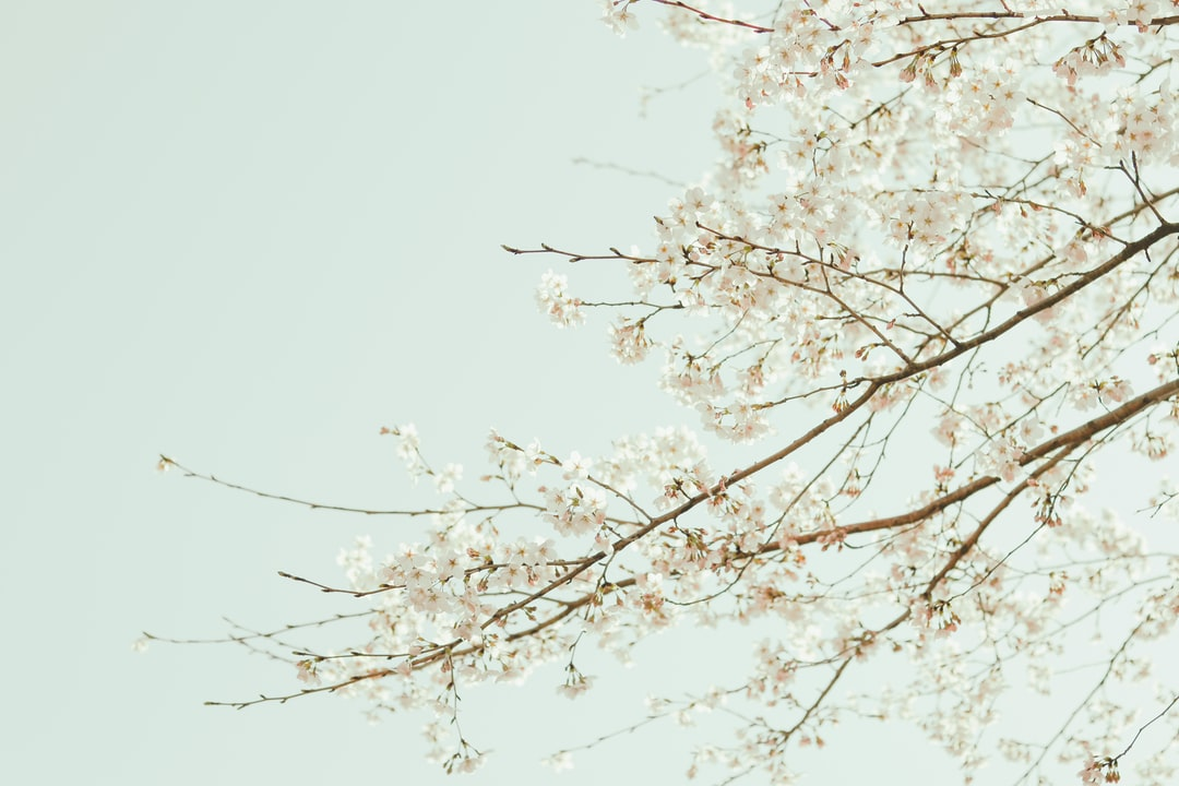 White Cherry Blossom Tree During Daytime - unsplash