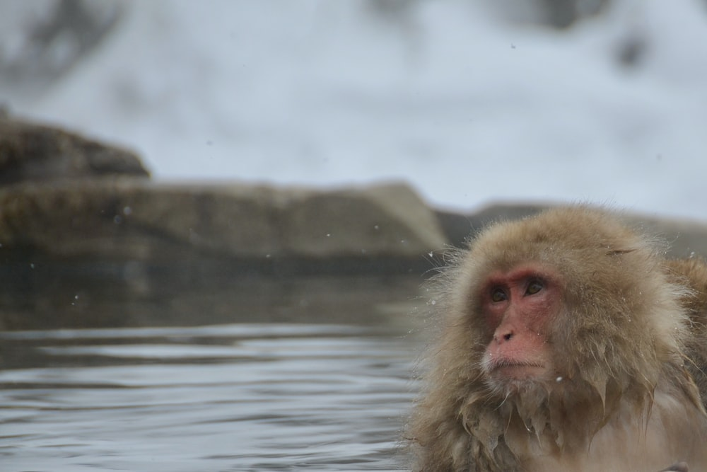 brown monkey on body of water during daytime