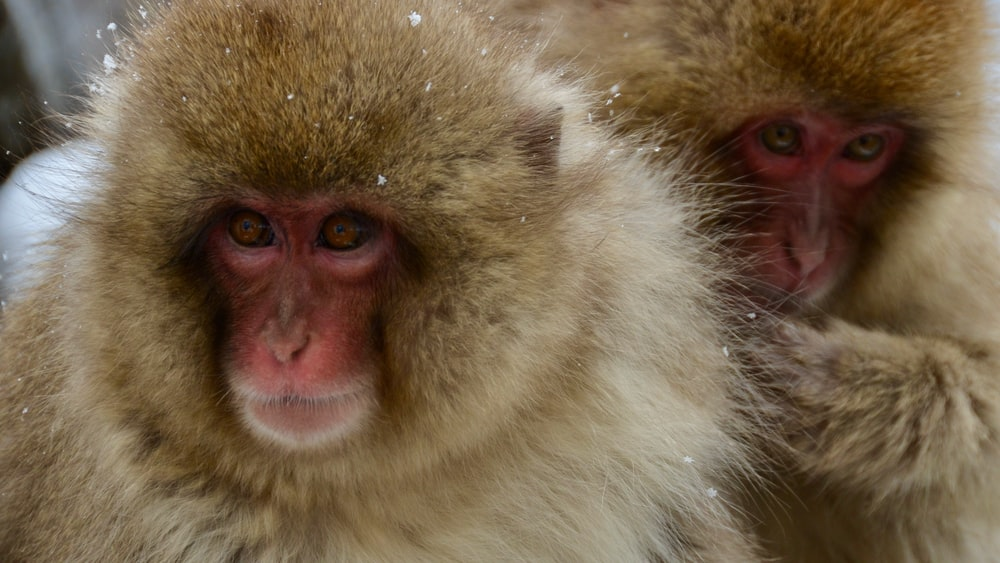 white and brown monkey face