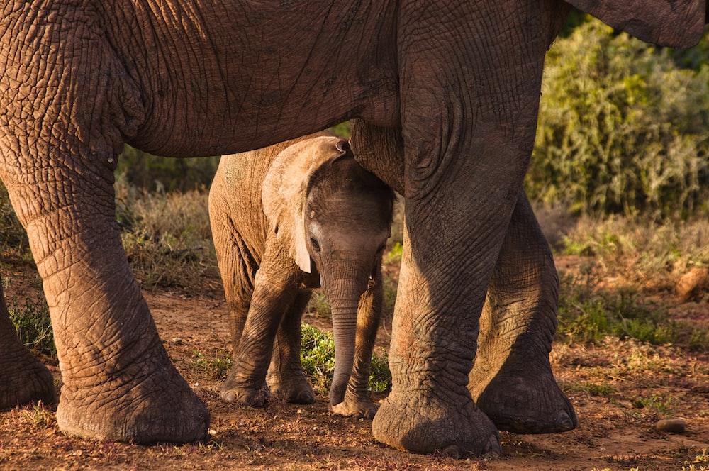 two brown elephants walking on brown soil