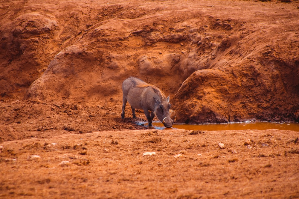 gray rhinoceros on brown ground during daytime