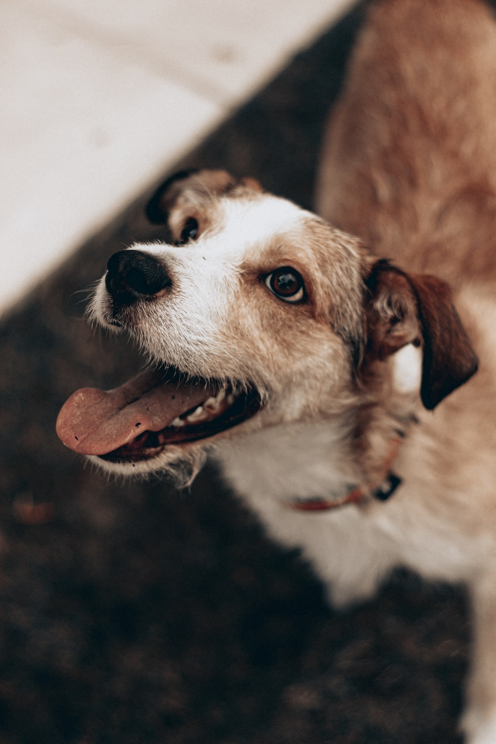 brown and white short coated dog showing tongue