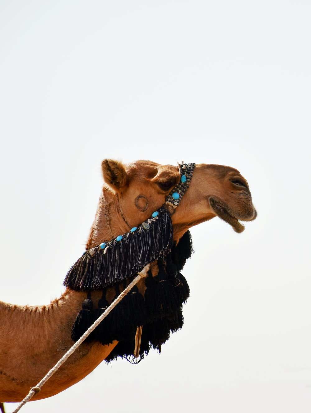 brown camel with brown rope