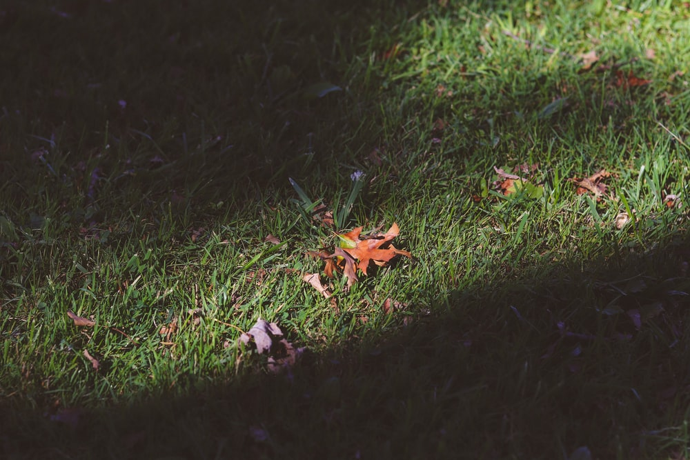brown dried leaves on green grass