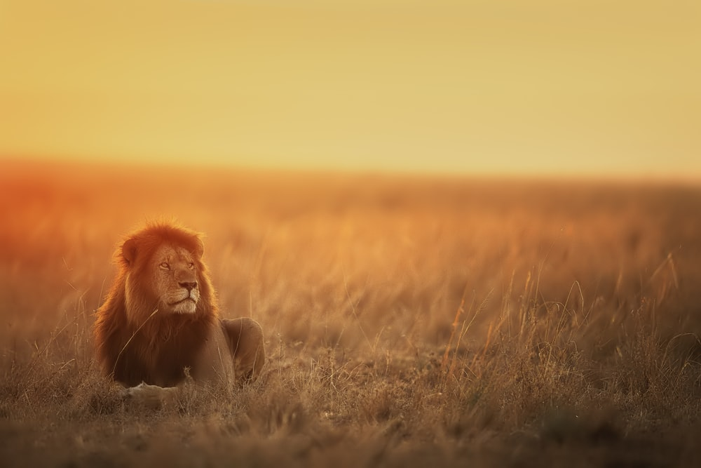 lion lying on brown grass field during sunset