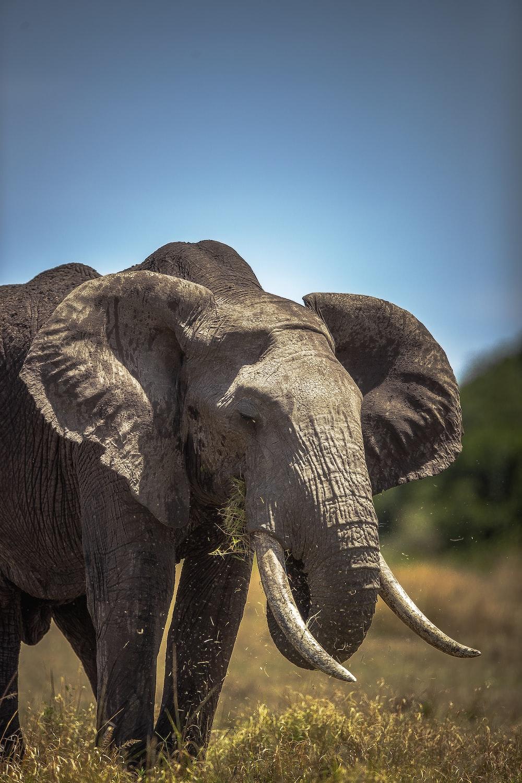 grey elephant under blue sky during daytime