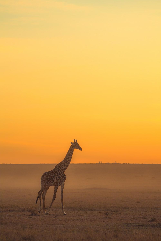 giraffe standing on brown sand during sunset