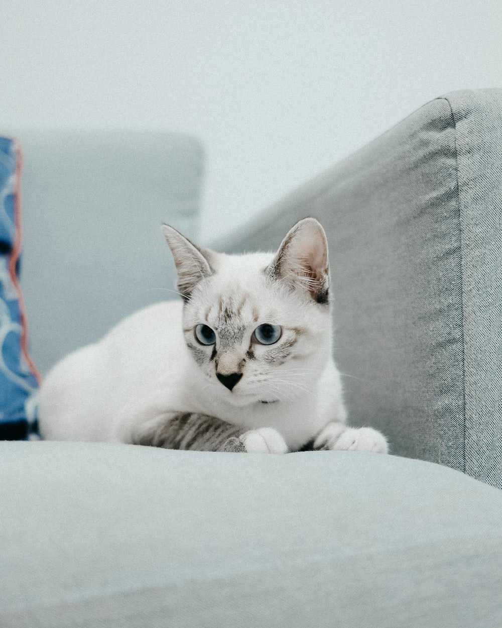 white cat on gray couch