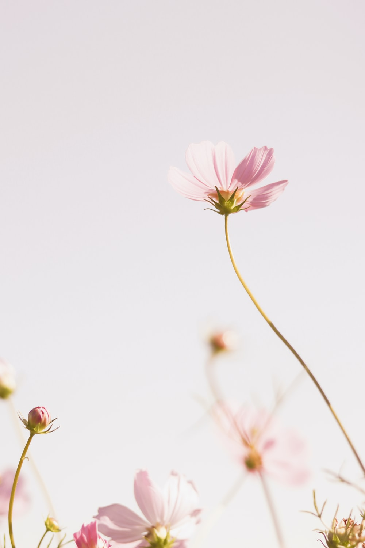 pink cosmos flower in bloom during daytime