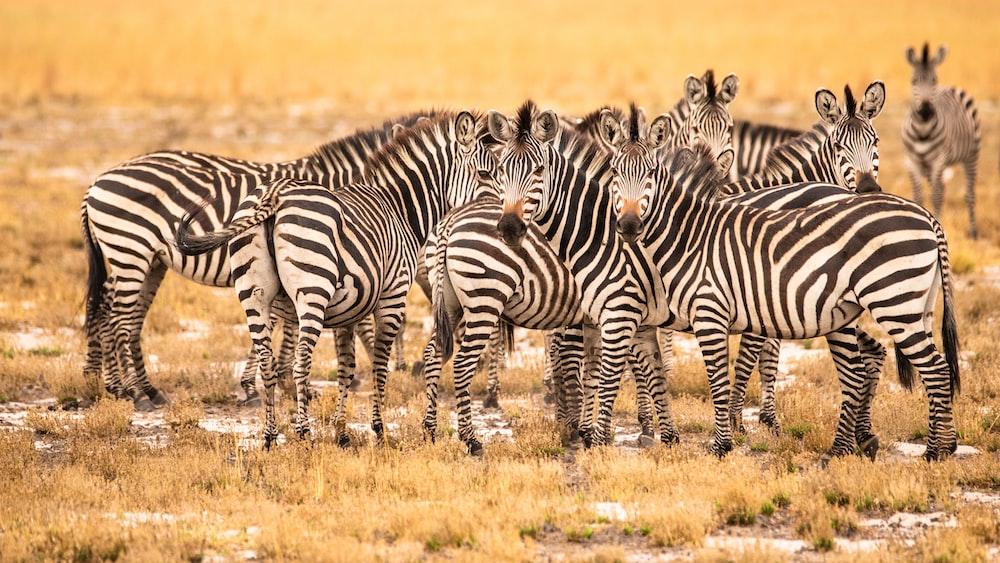 zebra on brown grass field during daytime
