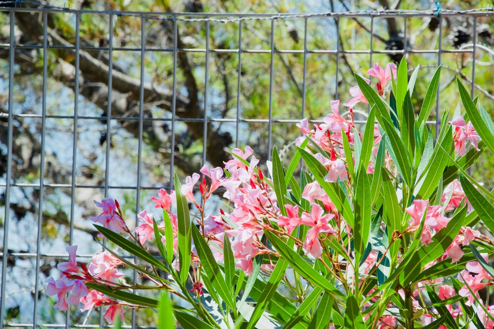 pink flowers beside brown wooden fence