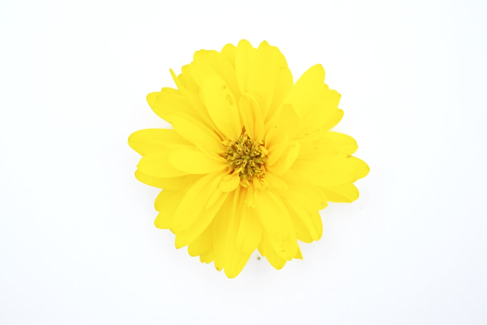 yellow flower with white background