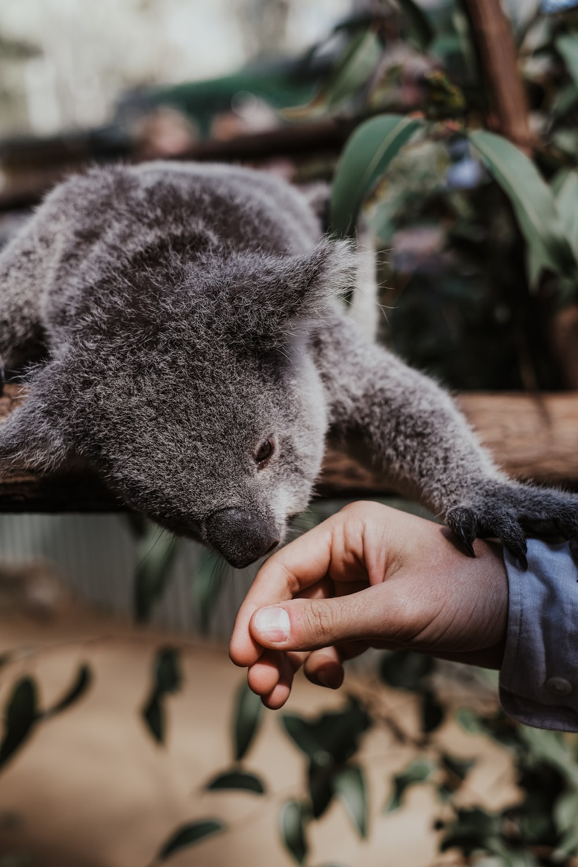 person holding koala bear plush toy