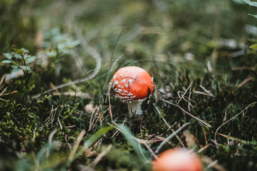 red and white mushroom in green grass