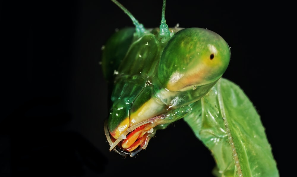 green praying mantis in close up photography