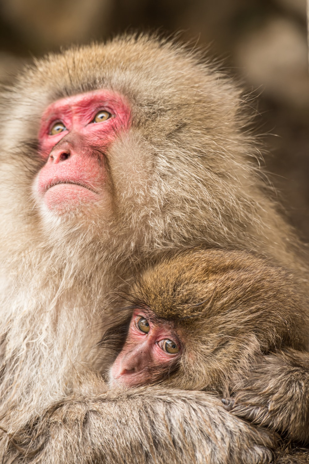 brown monkey with pink eyes