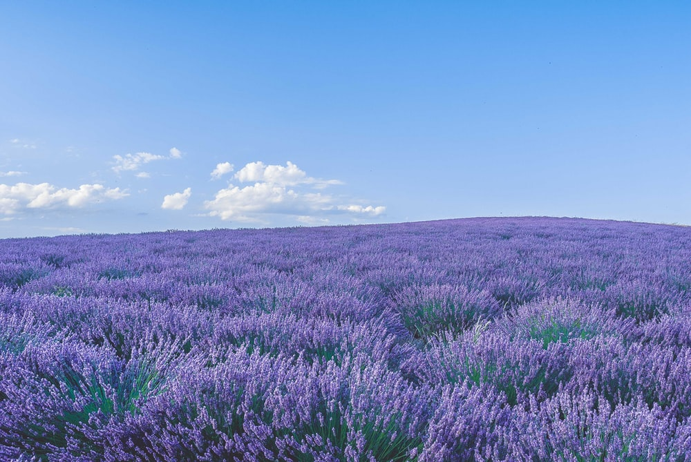 purple flower field under blue sky during daytime