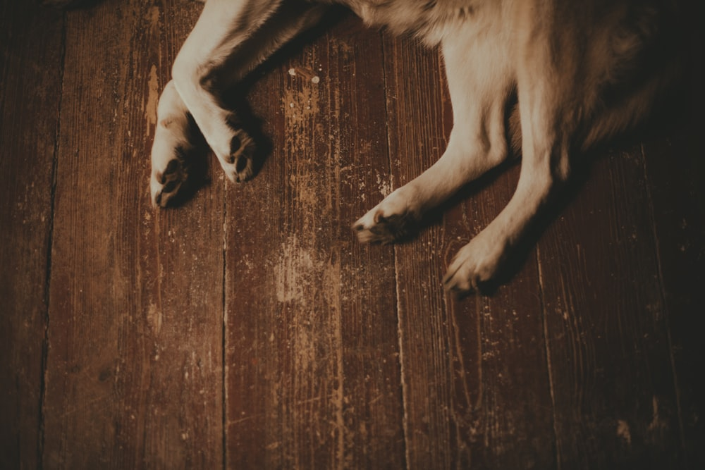 white and black short coated dog lying on brown wooden floor
