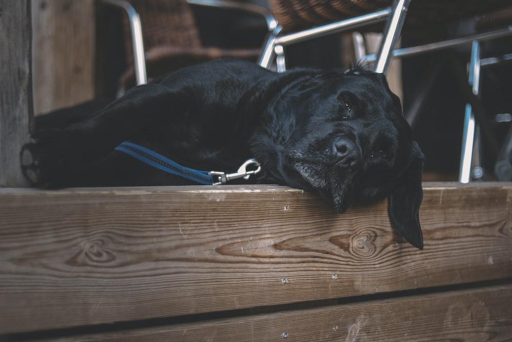 black labrador retriever lying on brown wooden floor