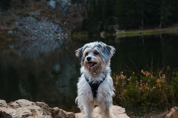 Useful Tips That You Should Know Before Adopting Your First Aussiedoodle