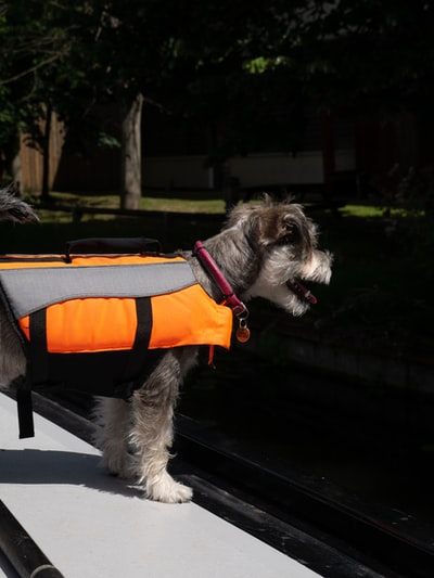 black and white long coated small dog with orange and black harness