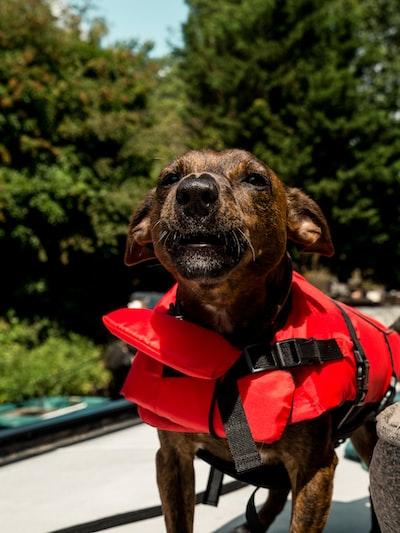 brown short coated dog wearing red and black vest