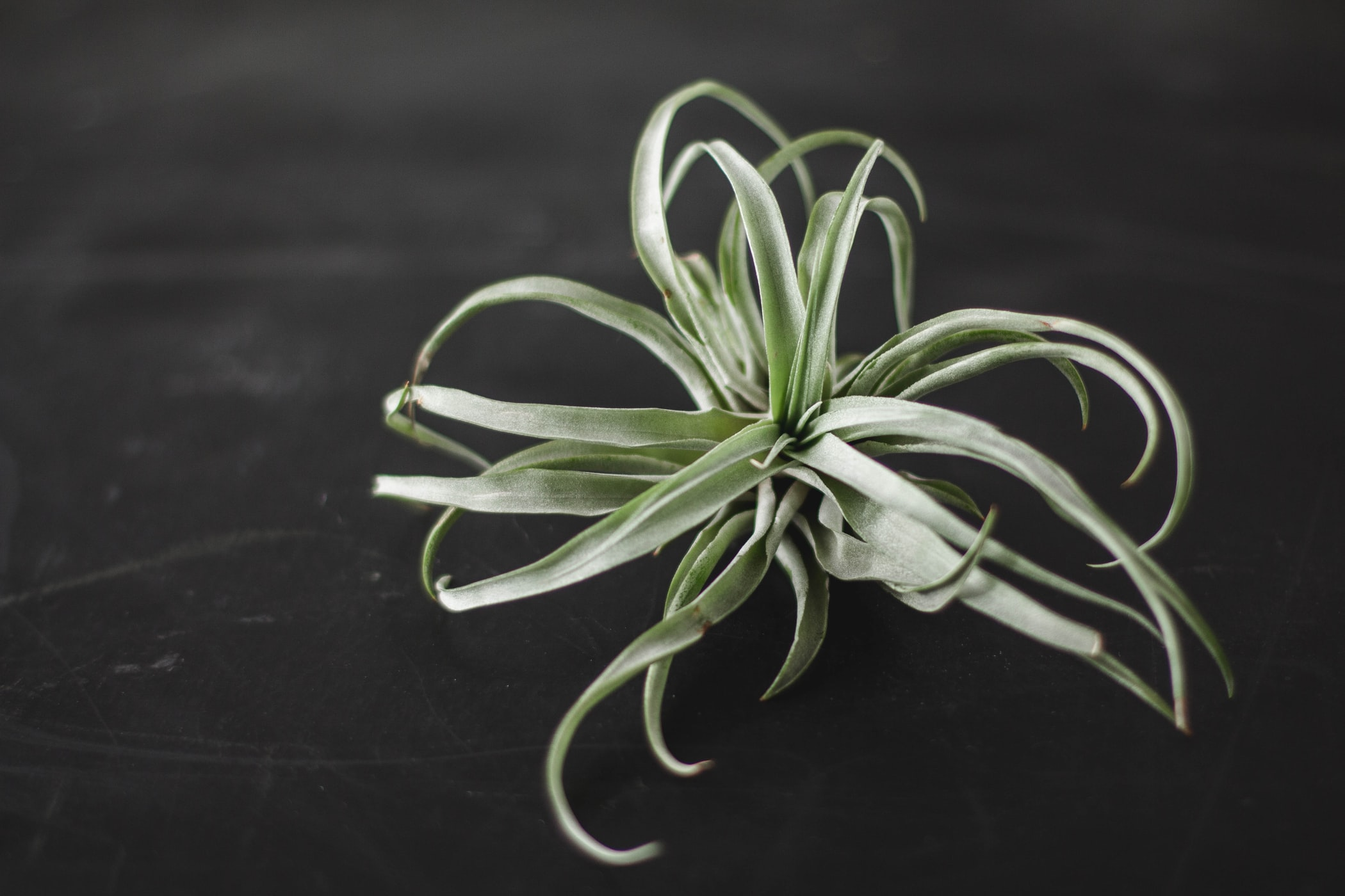 Air plant care, how to care for your air plant considering lighting, water and fertilizer.