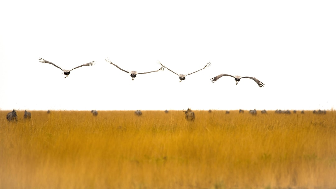 Flying Cranes Over Yellow Grass With Gnus - unsplash