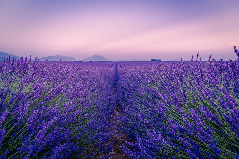 purple flower field under white sky during daytime