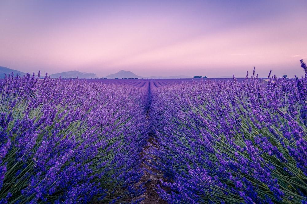 purple flower field under white sky during daytime
