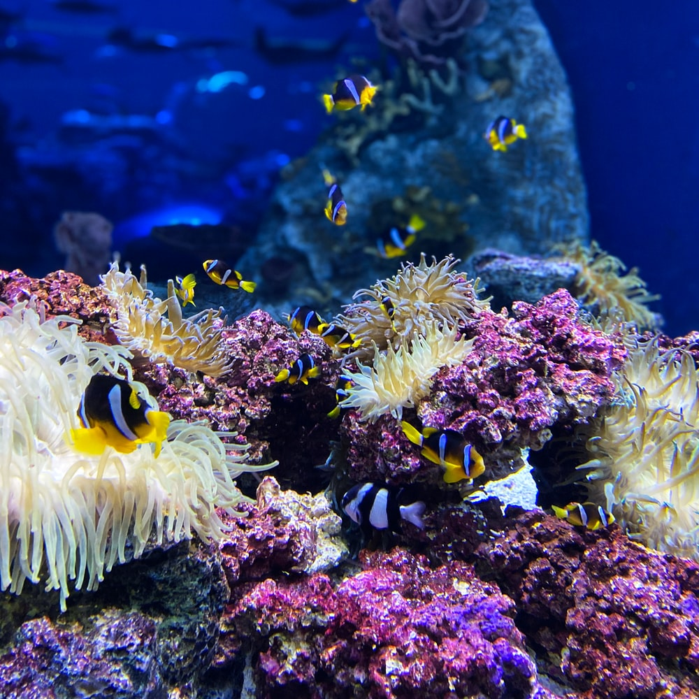 yellow and black clown fish