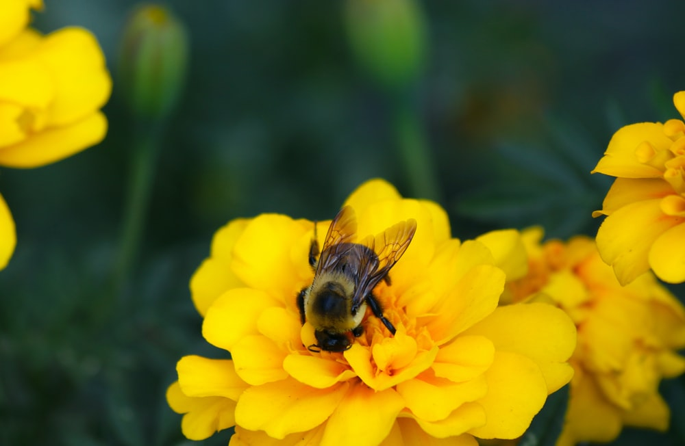 black and brown bee on yellow flower