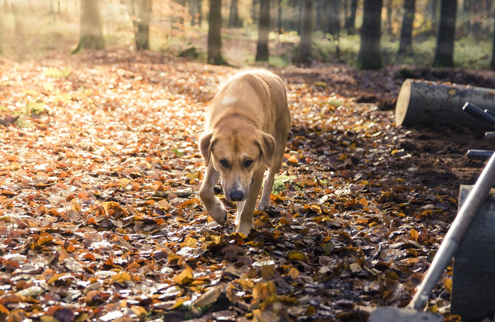 brown short coated dog on brown dried leaves during daytime