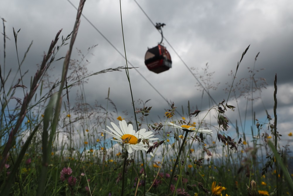 red and black bird flying over white flowers under cloudy sky during daytime