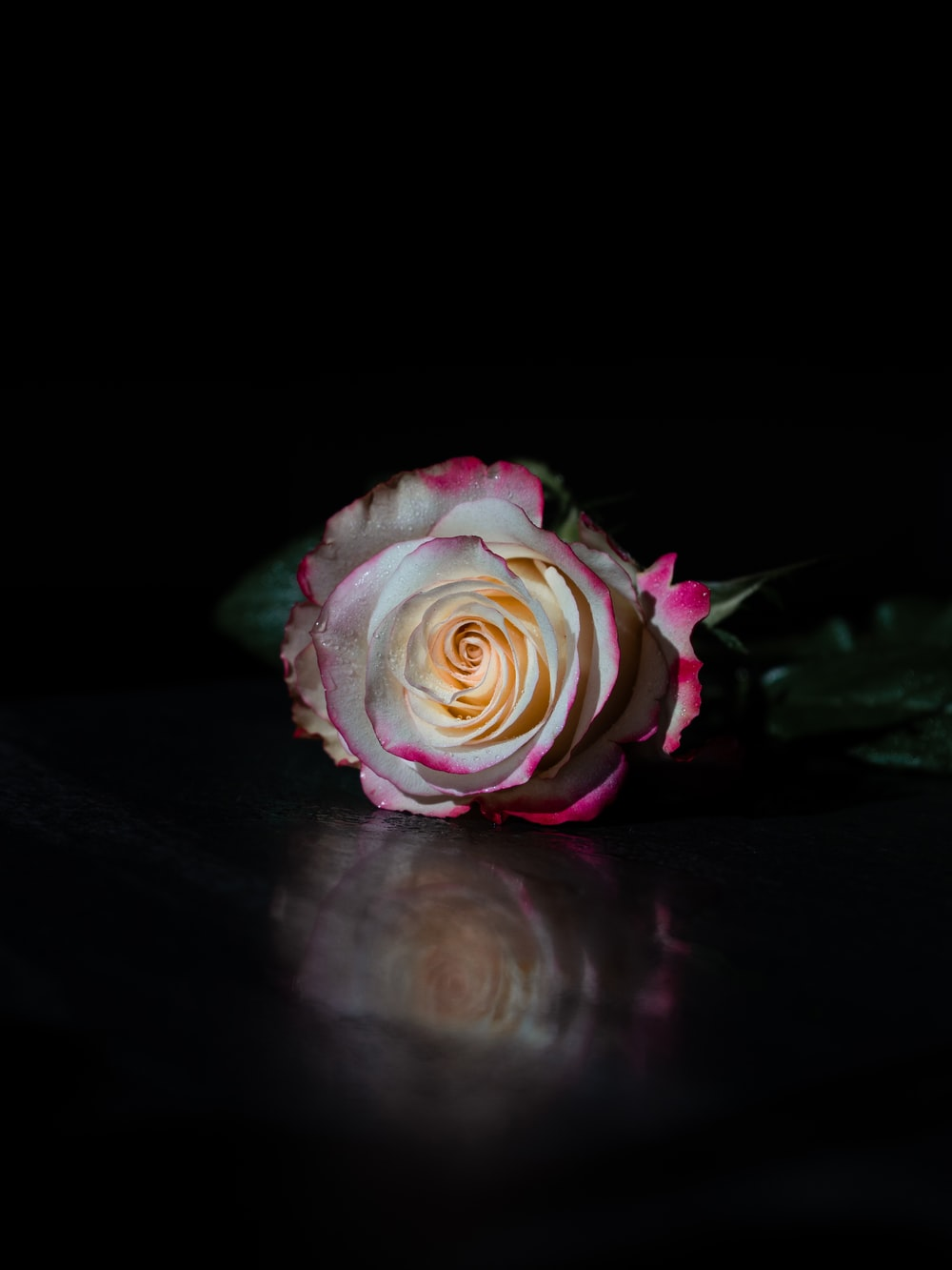 pink and white rose in black background