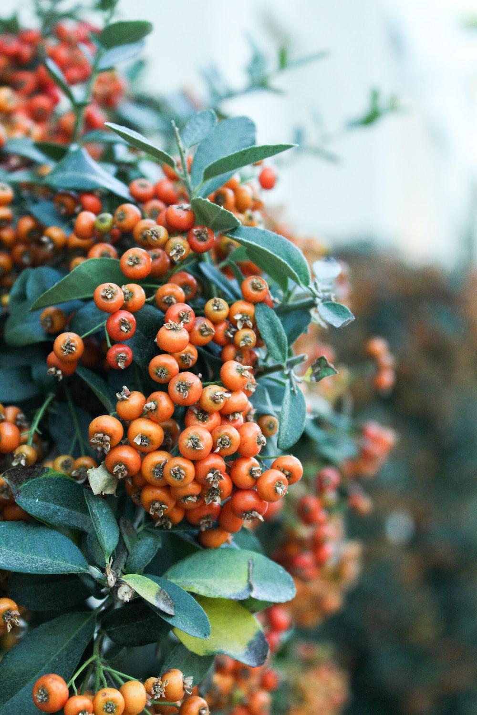 orange round fruits on green leaves