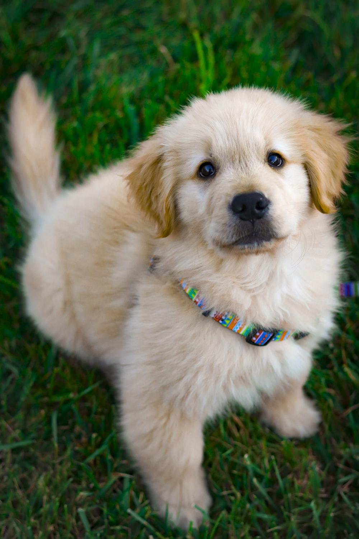 light golden retriever puppy on green grass field during daytime